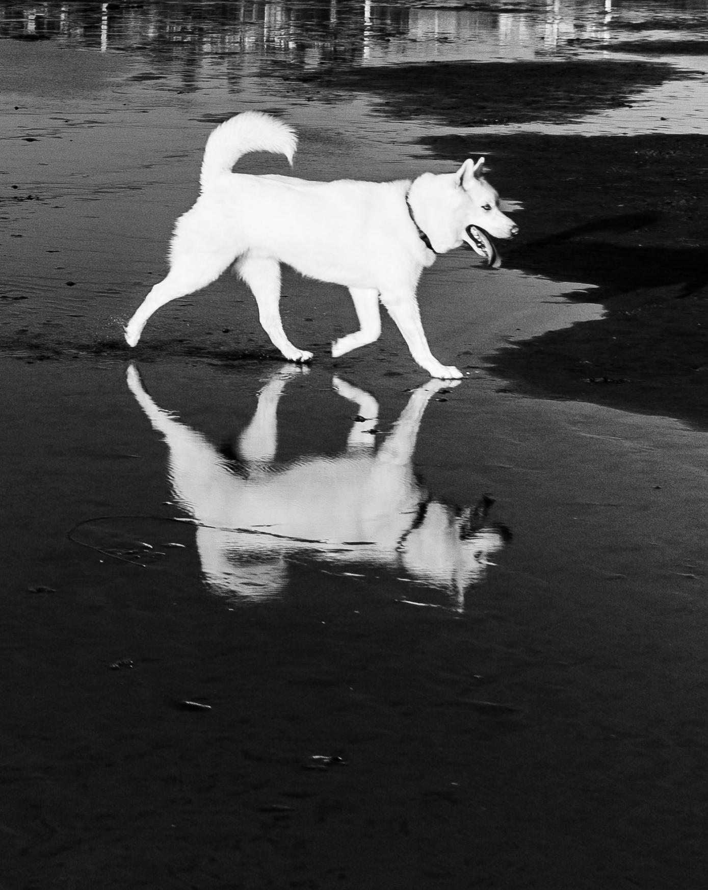 Dog-reflection